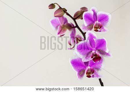 Close-up of pink-white orchid flower. Zen in the art of flowers. Macro photography of nature.