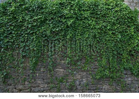 Summer wall with green creeper plant, exterior.