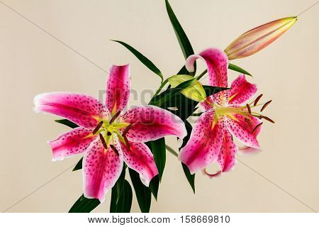 Close-up of pink lilium flower. Zen in the art of flowers.