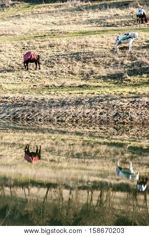 Mountain packhorses grazing on meadow grass on sunny late autumn day and reflection in lake waters