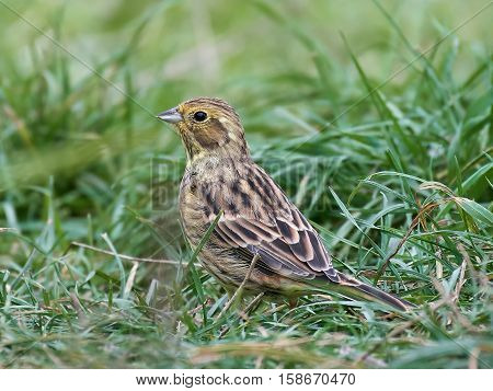 Yellowhammer sitting on the ground in its natural habitat