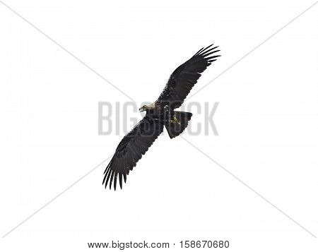 Spanish imperial eagle in flight isolated on a white background