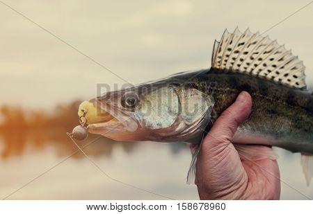Walleye caught on handmade jig lure, autumn catch, toned image