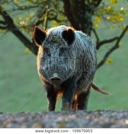 big wild boar looking at camera ( Sus scrofa )