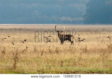 fallow deer stag and flying starlings on an autumn day ( Dama )