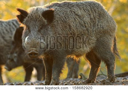 large male wild boar looking at the camera ( Sus scrofa )