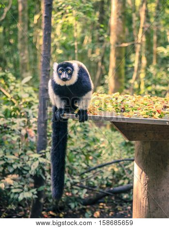 Ruffled Lemur at primate rescue center near Plettenberg Bay, South Africa
