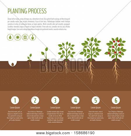 Planting tree process infographic. Tree growth. Bush vegetables growth stages. Steps of plant growth. Business concept. Flat design vector illustration.