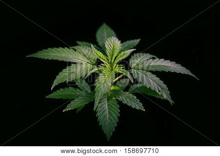 Marijuana plant growing isolated over black background