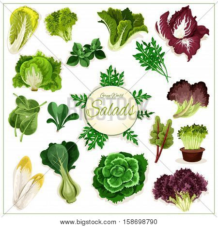 Salad greens poster of leafy vegetables. Vector isolated vegetarian arugula, chicory salad and spinach, lollo rossa, radicchio, swiss chard salad and batavia lettuce, gotukola, mangold and kale, collard, romaine, pak choi, sorrel