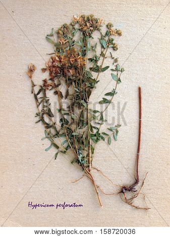 Herbarium from pressed and dried flower of perforate St John's-wort on antique brown craft paper with Latin subscript Hypericum perforatum.