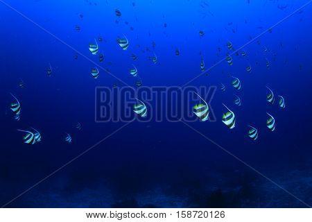Fish school on underwater coral reef in ocean