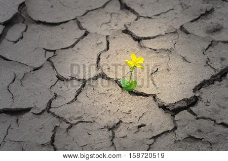 yellow flower in the middle of the dry cracked ground