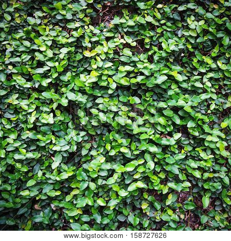 Backdrop of green ivy leaves natural wall.