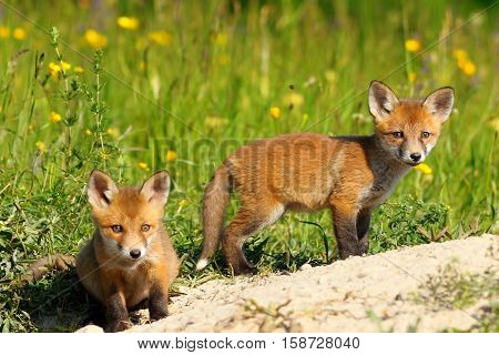 two red fox cubs looking at the camera while exploring the terrain near the burrow ( Vulpes vulpes wild animals )