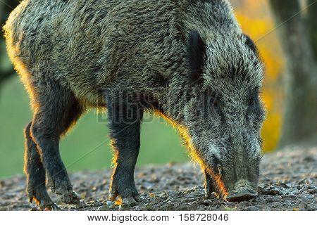 backlit wild boar closeup at dawn ( Sus scrofa )