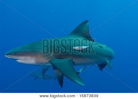 Bullshark and remora