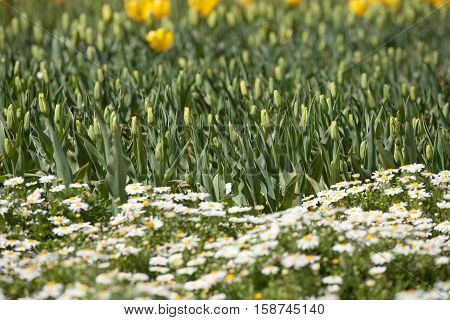 Daffodil And Other Flowers