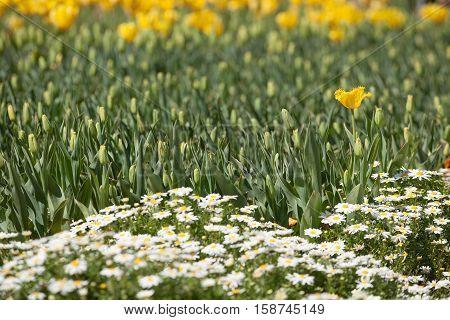 Single Yellow Daffodil