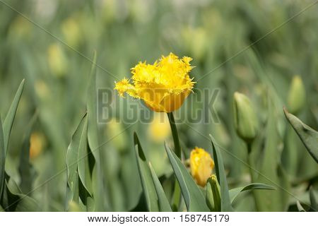 Single Yellow Daffodil flower  in full bloom at annual flower show in Canberra, Australia