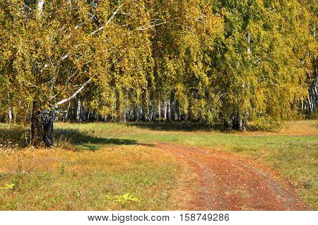 Landscape early autumn. A field with a dirt road and golden birch beside her amid the golden autumn forest and blue sky. West Siberia