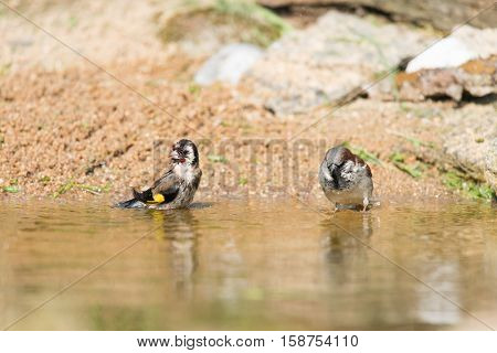 bathing European goldfinch and sparrow in nature water