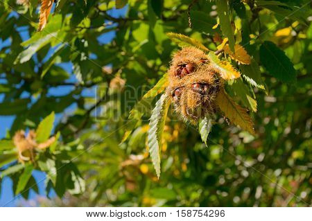 Sweet chestnut tree with hanging fruit