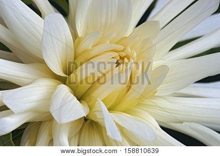 Close up image of dahlia flower (Dahlia x cultorum)
