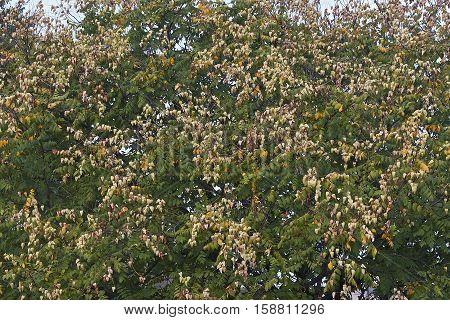 Goldenrain tree (Koelreuteria paniculata). Called Pride of India China Tree and Varnish Tree also