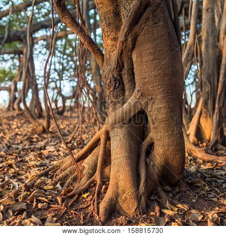 Tree of Life, roots of the Banyan Tree in morning sunlight