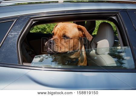 Red dog standing on guard with hostile look and sticking out its head out of open window in back end of a car