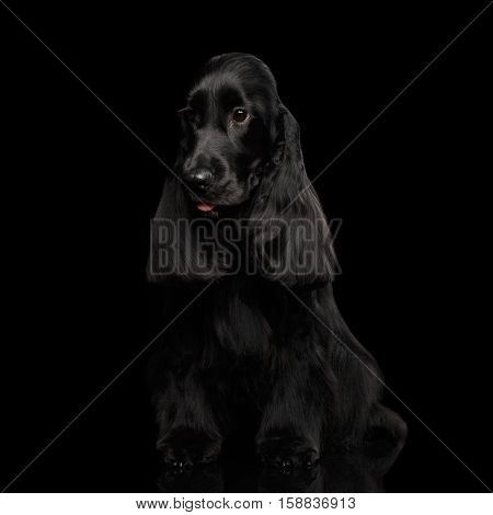 Portrait of dog english cocker spaniel breed, sitting on isolated black background with reflection, front view