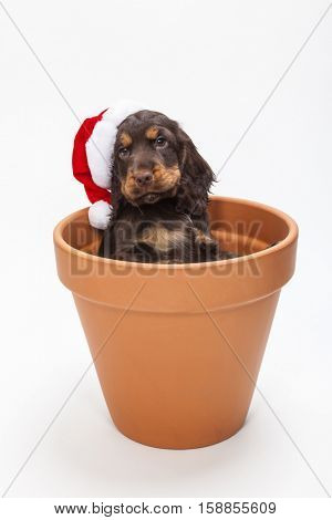 Cute Cocker Spaniel puppy dog wearing a Christmas Santa hat looking out from inside a big flower pot