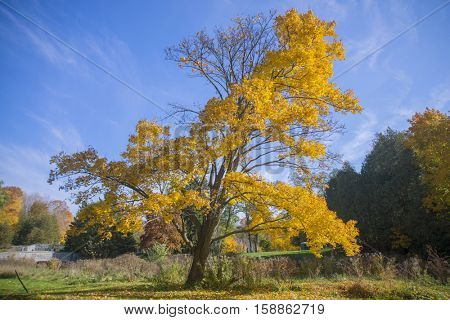 Vibrant yellow tree and fall foliage with sky in background, taken in Ontario, Canada