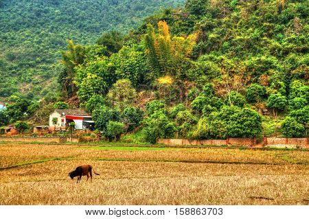 Beautiful landscape of northern Vietnam with forest on mountains, field, little house, and cattle.