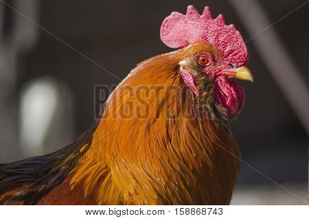 The head of the cock on blurred background