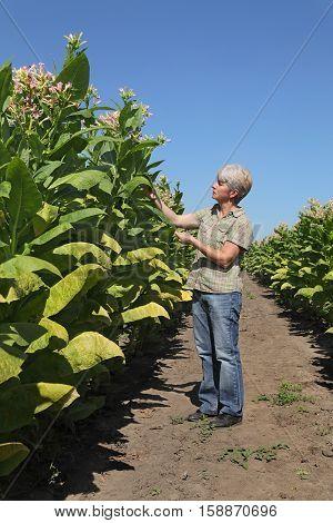 Female Farmer In Tobacco Field