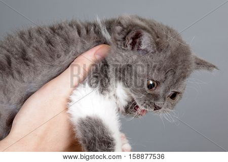 Kitten of breed Selkirk Rex grey color cat meows loudly he fell ill and require veterinary care