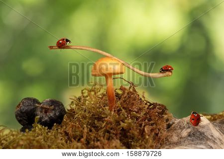 closeup two ladybugs swinging on the branch on the mushroom Armillaria and one ladybug on snag. green background