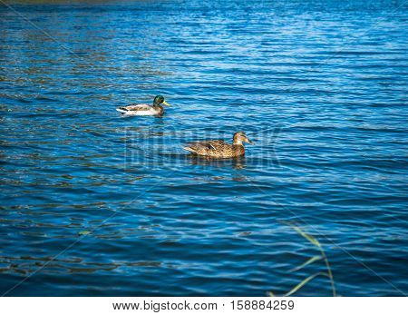 Selective focus on two brown ducks swimming and floating on blue water surface. Two ducks floating against blurred background of blue water. Blue water surface texture.