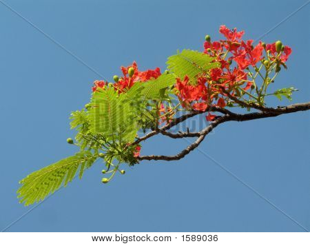 Royal Poinciana In Bloom - 4