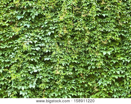 Green leaves wall background, natural pattern texture