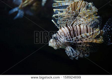 Scorpionfish Scorpaena is swimming near coral reef
