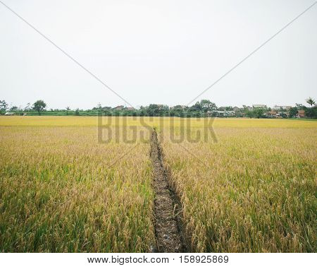 paddy fields are become rare in city