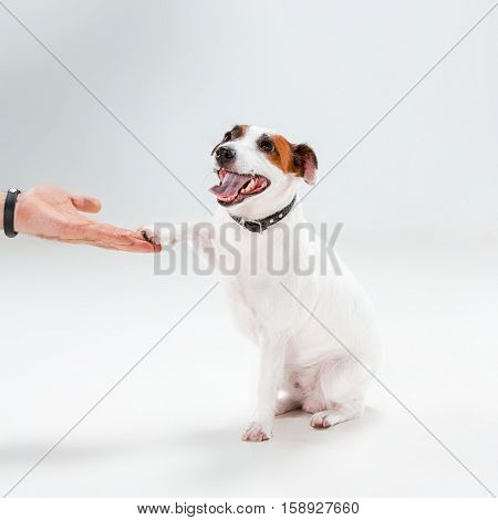Small Jack Russell Terrier sitting on white background