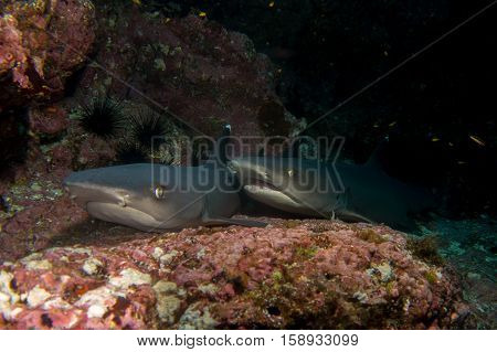 Pair Of Reef Sharks
