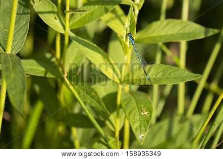 Variable Bluet (Coenagrion pulchellum) male resting on a Plant in a Dune Valley