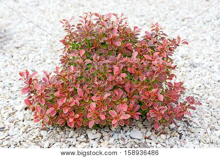 Small bush with green and red leaves on a background of bright pebbles. Element of landscape design.