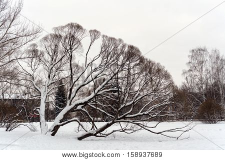 The silhouette of snow-covered majestic willow in a city Park in the winter.