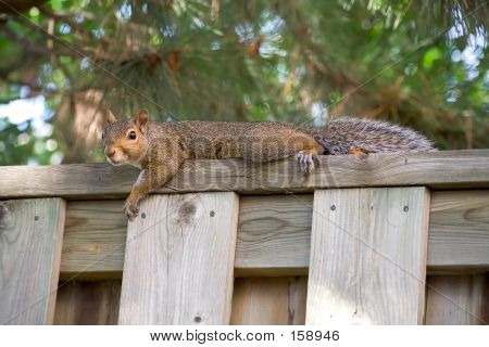 Squirrel Taking It Easy On A Fence